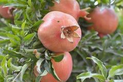 Pomegranate. Ripe pomegranate on the tree Royalty Free Stock Image
