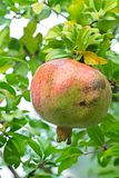 Pomegranate, ripening on the tree Stock Image
