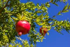 Pomegranate, ripening on the tree Stock Photography