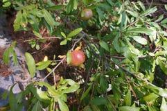 Pomegranate ripening on the tree Stock Photo
