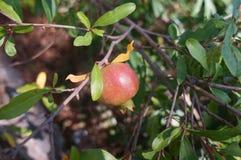 Pomegranate ripening on the tree Stock Photos