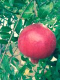 Pomegranate. It's time for the beautiful fruit to turn red and give us their tasty jujce Stock Images