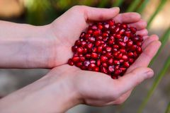 Pomegranate seeds in woman`s palms close up. Female hands holding garnet grain top view royalty free stock photography