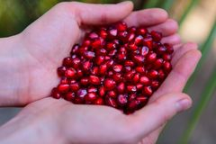 Pomegranate seeds in woman`s palms close up. Female hands holding garnet grain top view royalty free stock photo