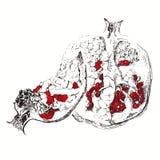 Pomegranate. Sketch, hand drawn  illustration on white bac Royalty Free Stock Photos