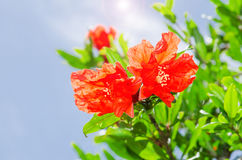 Pomegranate spring blooming branch with backlit re Royalty Free Stock Image