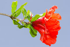 Pomegranate spring blossom vibrant red flowers Stock Image
