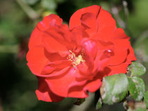 Pomegranate spring flowering. Royalty Free Stock Images