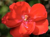 Pomegranate spring flowering. Stock Photos