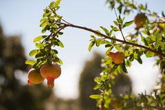 Pomegranate in Spring Stock Photography