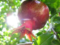 Pomegranate on the tree Royalty Free Stock Images