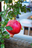 Pomegranate on tree Royalty Free Stock Images