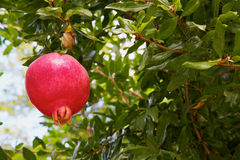 Pomegranate in a Tree Royalty Free Stock Photos