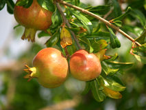 Pomegranate on the tree. In the south, on a sunny day Stock Photography