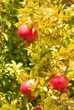 Pomegranate in tree Royalty Free Stock Photos
