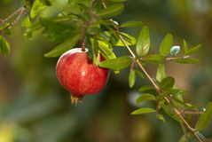 Pomegranate on the tree Stock Photo