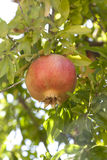 Pomegranate on a tree Stock Images
