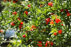 Pomegranate tree Stock Image