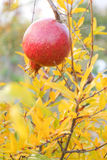 Pomegranate is on the tree. Stock Photography