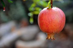 Pomegranate on a tree. A single pomegranate hanging in a tree Stock Photography