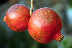 Pomegranate on a tree. The red pomegranate hanging on a branch, on a background of green leaves Stock Photos