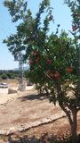 Pomegranate tree. Tree of pomegranate stock photo