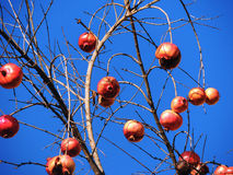 Pomegranate tree with background of blue sky Stock Photo