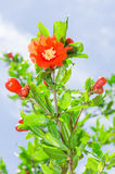 Pomegranate tree blooming with red flowers Stock Photo