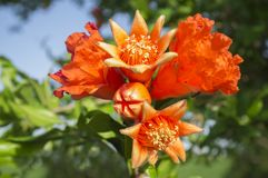 Pomegranate tree in blossom or Punica granatum flowers. Closeup Stock Photos