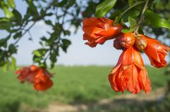 Pomegranate tree in blossom or Punica granatum flowers. Closeup Stock Photo