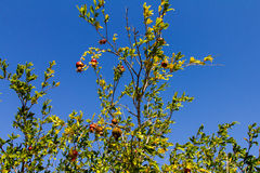 The pomegranate tree, on a blue sky Royalty Free Stock Photos