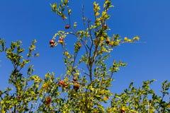 The pomegranate tree, on a blue sky.  Royalty Free Stock Photos