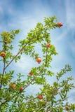 Pomegranate tree and blue sky Stock Photography