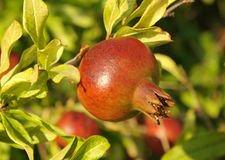 Pomegranate on a tree branch Stock Photography
