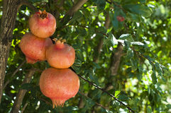 Pomegranate on a tree branch Royalty Free Stock Photography
