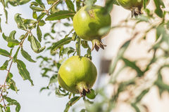 Pomegranate on tree branch. Pomegranate on tree branch, selective focus Royalty Free Stock Photo