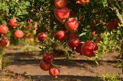 Pomegranate tree Stock Photo