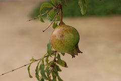 Pomegranate on tree ,closed at pomegranate in nature Royalty Free Stock Photos