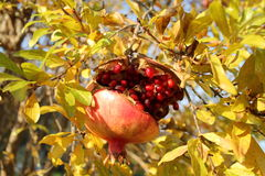 Pomegranate tree ,  Fall in Italy Royalty Free Stock Image