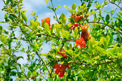 Pomegranate tree with flowers Stock Photos