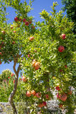 Pomegranate tree Royalty Free Stock Photography