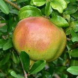 Pomegranate tree fruit,Punica protopunica. Island Crete Royalty Free Stock Photos