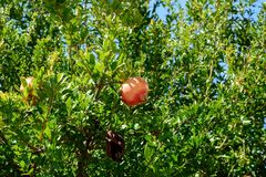 Pomegranate Tree With Fruits Or Punica Granatum Against Blue Sky In Summer. A photograph of a pomegranate tree with fruits or Punica Granatum against the blue Stock Image