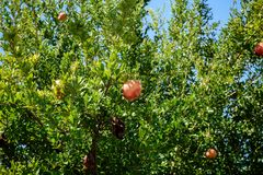 Pomegranate Tree With Fruits Or Punica Granatum Against Blue Sky In Summer. A photograph of a pomegranate tree with fruits or Punica Granatum against the blue Royalty Free Stock Photography