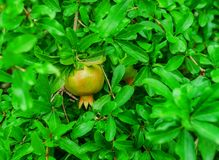Pomegranate tree with fruits. Sizzling red pomegranate royalty free stock photos