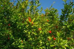 Pomegranate tree Royalty Free Stock Photo