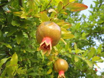 Pomegranate. Tree full with fruits Stock Image