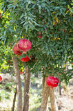 Pomegranate Tree. In The Garden Royalty Free Stock Photography