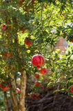Pomegranate Tree. In The Garden Stock Photo