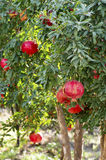 Pomegranate Tree. In The Garden Royalty Free Stock Image